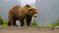 VIDEO | Un urs, filmat în timp ce se plimba pe șosea în România