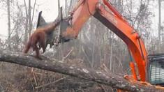 VIDEO | Încercările disperate, dar fără succes, ale unui urangutan de a opri buldozerul care-i distruge pădurea