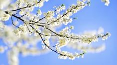 Fonograful de miercuri | Trandafiri în primăvară