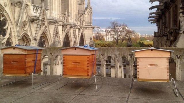 Albinele de la Notre-Dame au supravieţuit incendiului