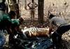 India | Superstiţiile, responsabile pentru uciderea a 11 tigri într-un stat din centrul ţării