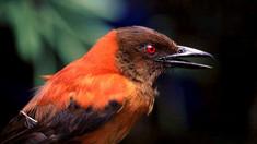 Ciudații Pământului | Care este cea mai veninoasă pasăre din lume, ignorată ani de zile de cercetători