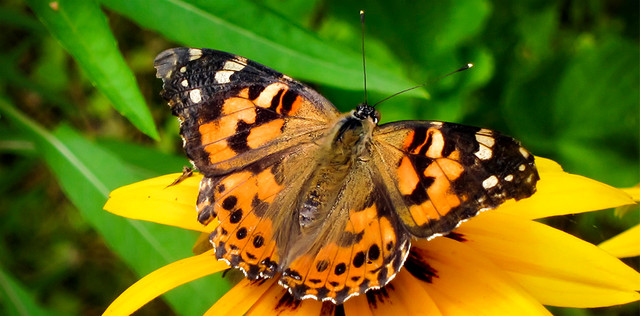 ANSA atenționează! Fluturele scaieților, tot mai des întâlnit pe teritoriul R.Moldova