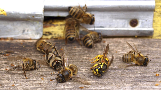În raionul Ceadâr-Lunga este investigată pieirea în masă a albinelor