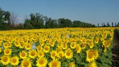 Peste 30 de hectare de floarea-soarelui au fost distruse de ploi într-un sat din Telenești
