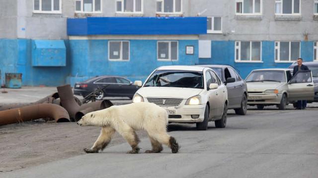 Rusia | Un urs polar înfometat aflat la sute de kilometri distanță de habitatul său a fost capturat