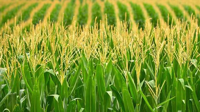 R.Moldova exportă tot mai multe cereale ecologice în Uniunea Eurpeană