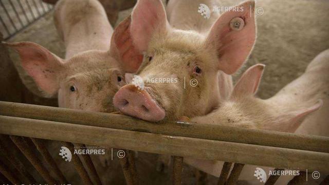Stare de alertă în Bulgaria din cauza pestei porcine africane