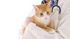 New York interzice extirparea ghearelor pisicilor. Susţinătorii intervenţiei își argumentează poziția