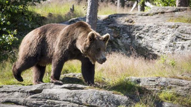Un jandarm din Suceava este în stare gravă, după ce a fost atacat de urs, în timpul serviciului