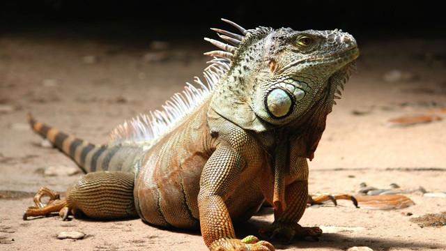 Iguanele, declarate dușmani ai americanilor în Florida. Proprietarii, încurajați să le omoare pe terenurile lor oricând este posibil
