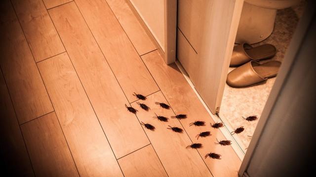 Gândacii de bucătărie au evoluat și sunt aproape imposibil de ucis cu chimicale, potrivit oamenilor de știință