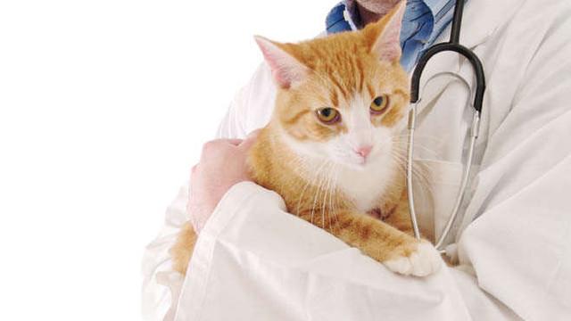 New York interzice extirparea ghearelor pisicilor. Susținătorii intervenției își argumentează poziția