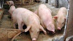 Rusia - noi cazuri de pestă porcină africană în regiunea Amur