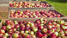 Rusia a interzis importul a peste 20 de tone de mere din R.Moldova