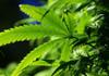 O plantaţie imensă de marijuana, ascunsă în spatele unei cabine de duş