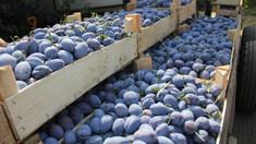 Aprobat în Comisia de profil |  Vor fi majorate cotele de export în UE pentru strugurii, prunele și cireșele din R.Moldova