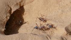 VIDEO | Cele mai rapide furnici aleargă cu aproape un metru pe secundă