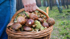 Ce trebuie să cunoască amatorii de ciuperci înainte de a le culege, medic
