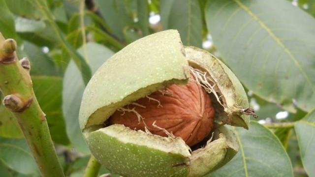 Producătorii de nuci din R.Moldova susțin că sunt aduși tot mai multe loturi de puieți infestați, în special din Turcia
