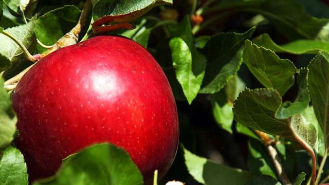 Noul soi de mere în care s-au investit milioane de dolari și care promite a fi un succes mondial
