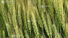 USDA a îmbunătăţit estimările privind producţia de grâu a Rusiei în anul agricol 2019-2020