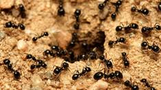 O colonie de furnici canibale a fost descoperită într-un buncăr nuclear polonez. Cum au supraviețuit acestea