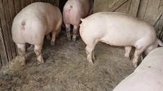 Pesta porcină revine într-un nou focar. Aproape 30 de porci vor fi sacrificați și înhumați la Hâncești