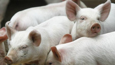 Chinezii au creat primele exemplare hibride maimuță-porc (FOTO)