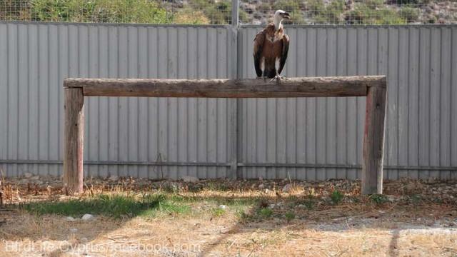 Un exemplar de vultur pleşuv sur, o specie periclitată în Cipru, a fost salvat şi a revenit la vechea sa colonie
