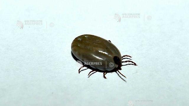 Un parazit cu potenţial letal, transmis de căpuşe, identificat pentru prima dată în Marea Britanie