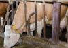 Pe teritoriul Republicii Moldova a fost înregistrat un caz de rabie la o bovină