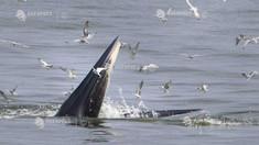 Studiu | Mărimea până la care poate ajunge o balenă, influenţată de disponibilitatea prăzii şi modul de hrănire