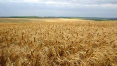 Nivelul scăzut de umiditate în sol pune în pericol culturile cerealiere de toamnă, în special grâul. Ce spun specialiștii