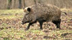 ANSA | Trei focare de pesta porcină confirmate