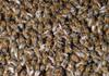Un roi de 40.000 de albine ucigaşe a atacat un hotel, în California. Mai multe persoane au ajuns la spital