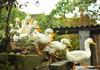 China va transmite în Pakistan 100.000 de rațe în încercarea de a stopa invazia de lăcuste