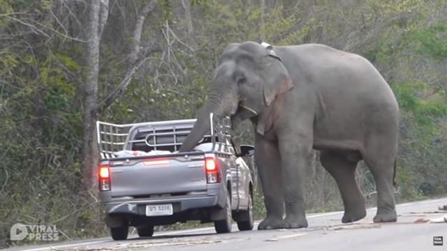 VIDEO | Un elefant din Thailanda își învață puiul să fure mâncare din mașini