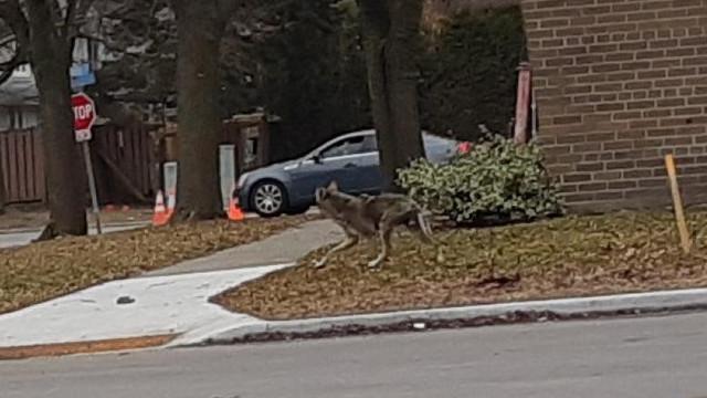 În Toronto, animalele au luat în stăpânire stăzile golite de oameni