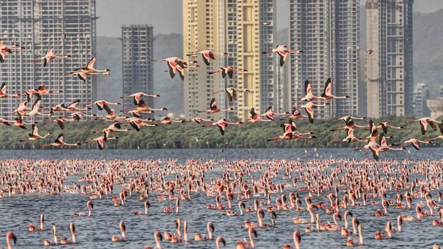 VIDEO   Cerul a devenit roz. Oamenii s-au retras în case, iar peste 100 de mii de flamingo au invadat orașul Mumbai