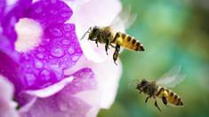 Tehnică inedită de polenizare, pe fundalul declinului global al populației de albini