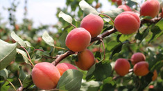 Caisele sunt printre cele mai solicitate fructe pe piața externă. USAID/APM recomandă agricultorilor moldoveni că cultive anumite soiuri