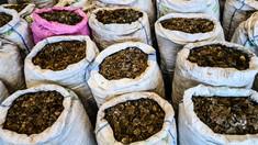 ONU: Pangolinul a devenit cel mai traficat mamifer sălbatic din lume