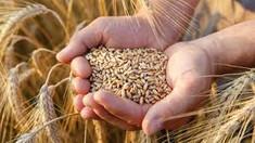 Ministerul Agriculturii estimează în acest an o recoltă globală de grâu de 600 de mii de tone
