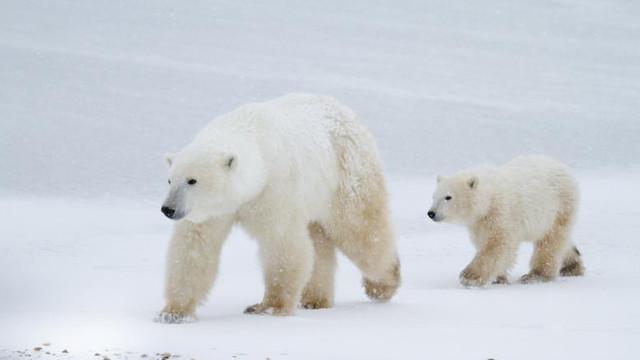 STUDIU | Aproape toți urșii polari ar putea muri în următorii 80 de ani