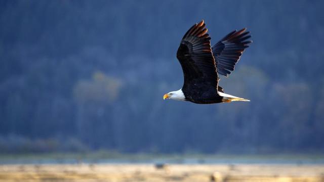 Un vultur a atacat o dronă aparținând guvernului american. Dispozitivul a ajuns pe fundul lacului Michigan