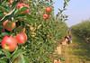 Recolta de mere este mai mică anul acesta