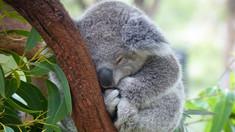 Australia: Stresul contribuie la ''declinul constant'' al populației de koala (studiu)