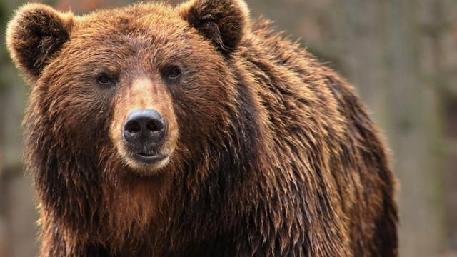 Angajatul unei grădini zoologice din China a fost sfâșiat de urși în fața turiștilor