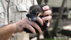 Australia: Cercetătorii solicită ca ornitorincul să fie introdus pe lista speciilor ''amenințate'' din cauza declinului sever al populației